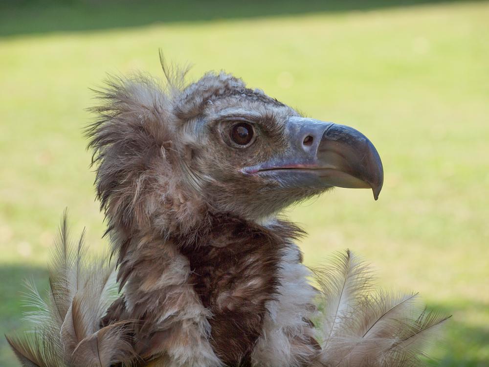 Photo in Animal #vulture #bird #nature