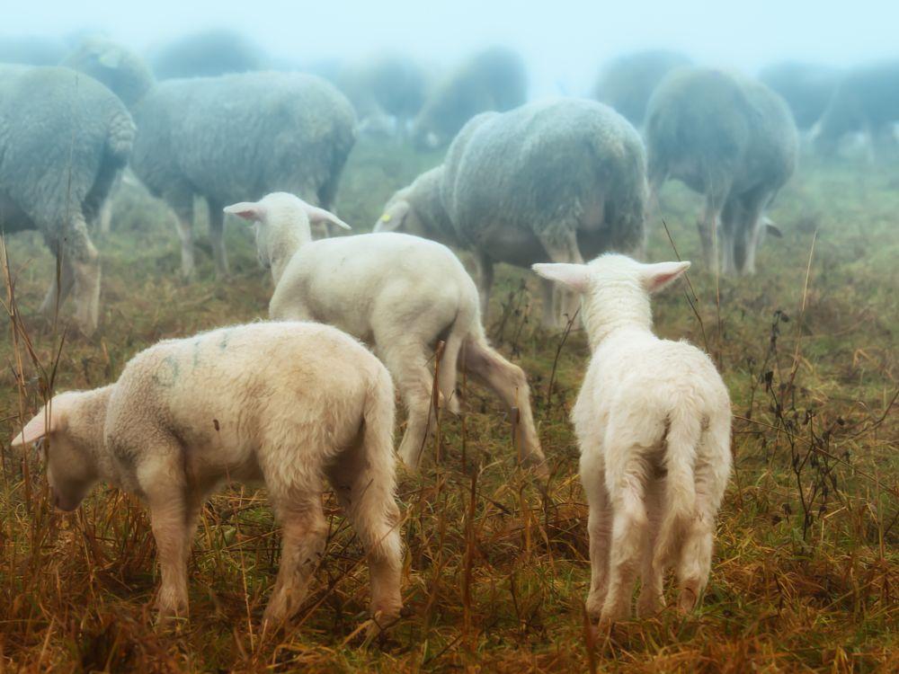 Photo in Animal #sheep #fog #cold