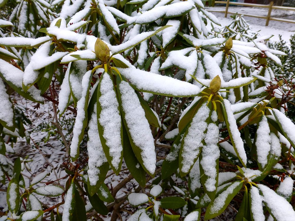 Photo in Nature #winter rhododendrons #rhododendrons #winter