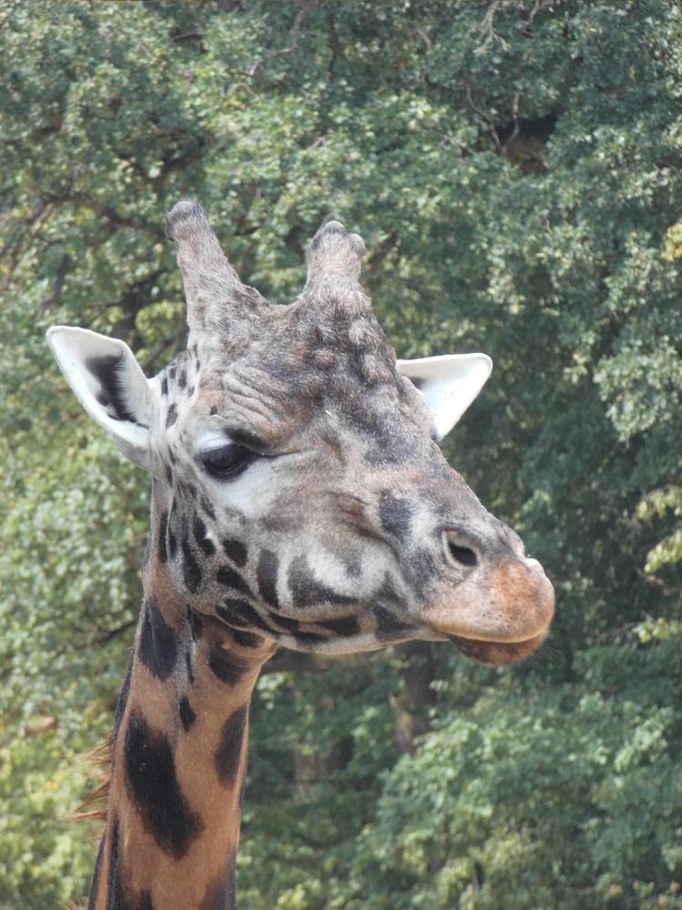 Photo in Animal #animal #giraffe #giraffe male #zoo #zoo zlín #zlín zoo