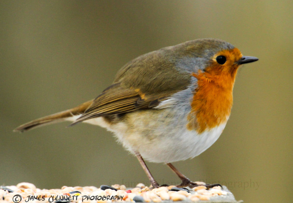 Photo in Animal #robin #birds #winter #food #cold #bird #red #breast