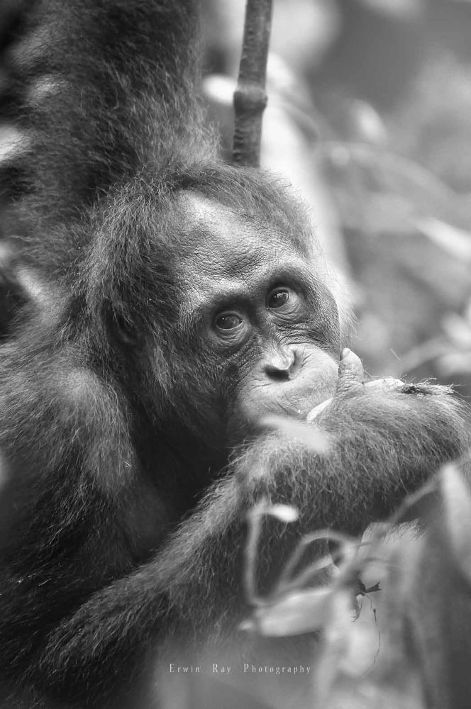 Photo in Animal #orang utan of borneo