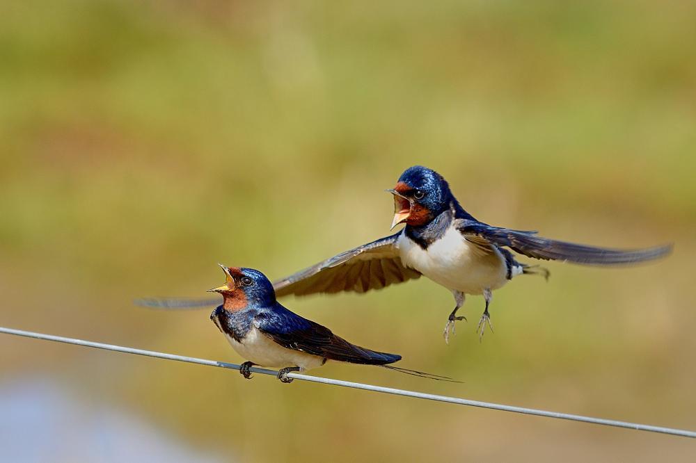 Photo in Animal #swallow #barn swallow #birds #wild birds #wildlife #spring #nature