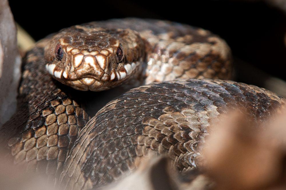 Photo in Animal #snake #adders #vipera berus #reptile #wildlife #nature #animals #sweden #venemous