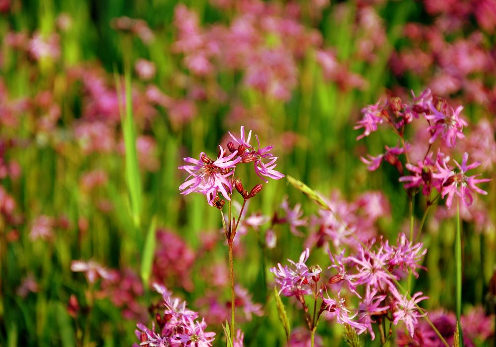 Photo in Macro #pink #wild #flowers #meadow #spring #green #may #nature #macro #light #holland #bloemen #veldbloemen #mei #netherlands #lychnis flos-cuculi #ragged-robin