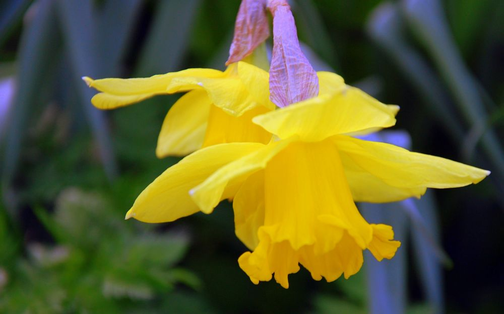 Photo in Nature #narcissus #daffodils #narcissen #flowers #yellow #spring #march #nature #holland #netherlands #lente