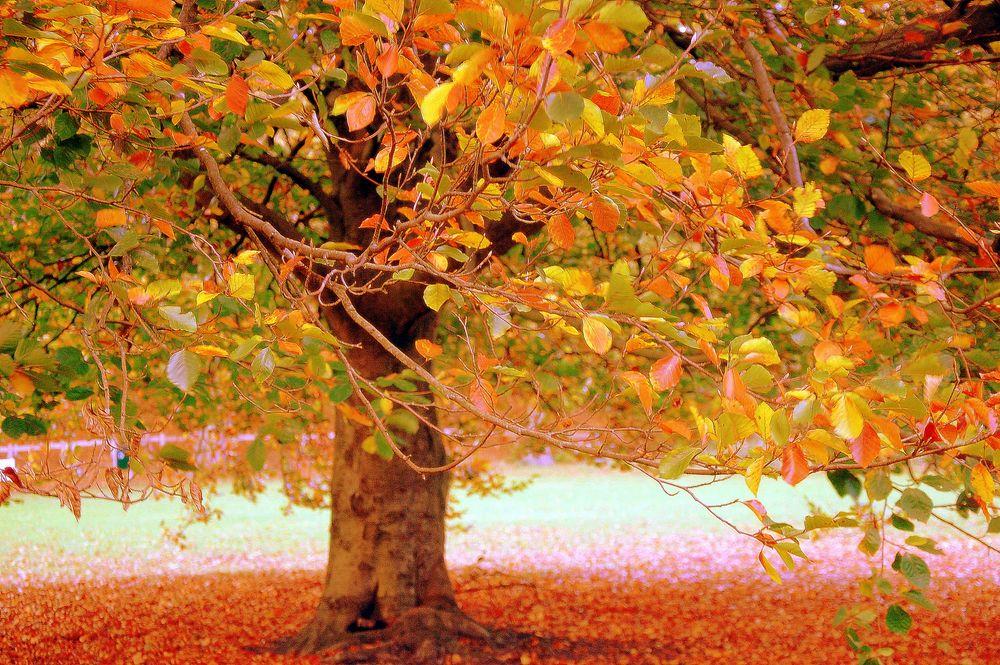 Photo in Nature #soft #autumn #colours #tree #leaves #nature #yellow #orange #green #brown #subtle #gentle #magical #dreamy #sfeer #mood #herfst #najaar #boom #herfstbladeren #autumnleaves #kleuren #zacht #subtiel #fall #foliage #jesen #priroda #boje #jesenjelišće #nežno #meko #sanjarenje #holland #netherlands
