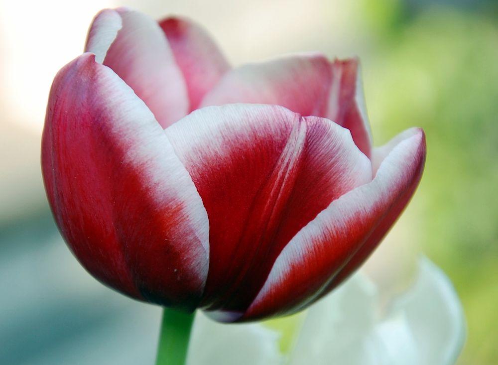 Photo in Nature #tulip #red #white #spring #flower #garden #holland #netherlands