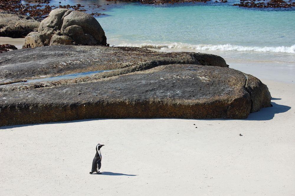 Photo in Nature #africanpenguin #bouldersbeach #capetown #southafrica