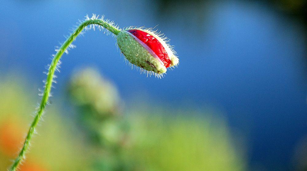 Photo in Macro #poppy #bud #red #water #blue #summer #green #nature #macro #papaver #klaproos #knop #mak #pupoljak #bright #vivid #colours #holland #netherlands #happy #mood