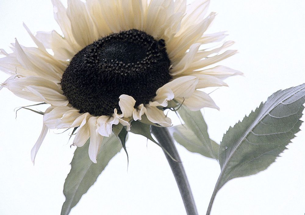 Photo in Nature #sunflower