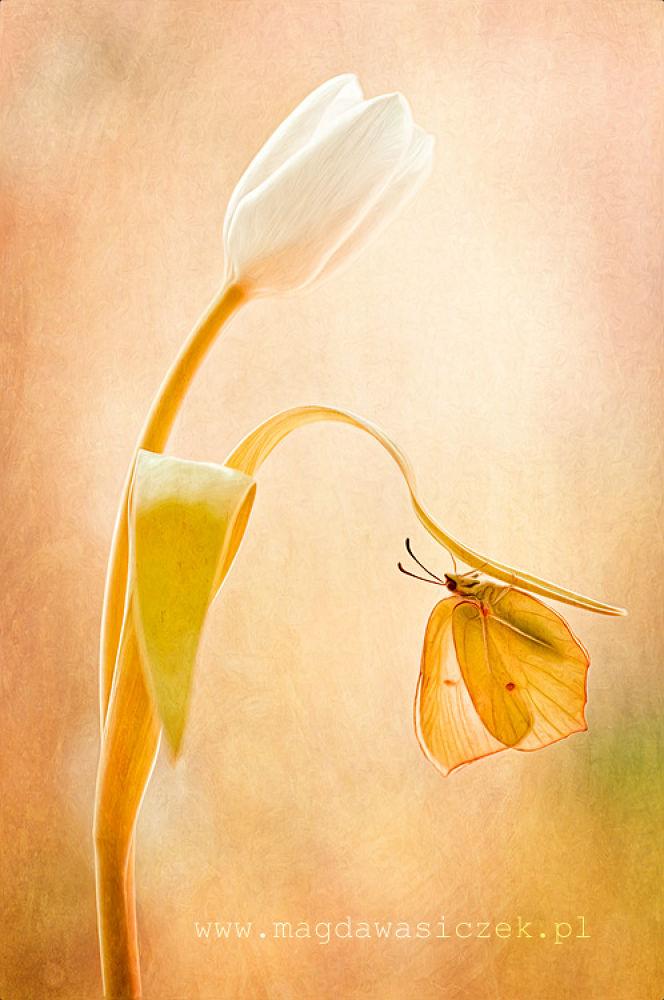 Photo in Macro #ypa2013 #sun #brimstone #butterfly #tulip #flower #macro #texture #wasiczek #art #nature #creativ