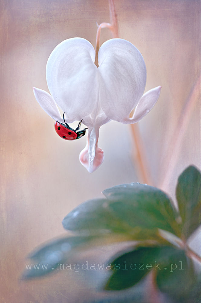 Photo in Macro #ypa2013 #macro #ladybug #ladybird #coccinella #dicentra #flower #spring #texture #art #nature