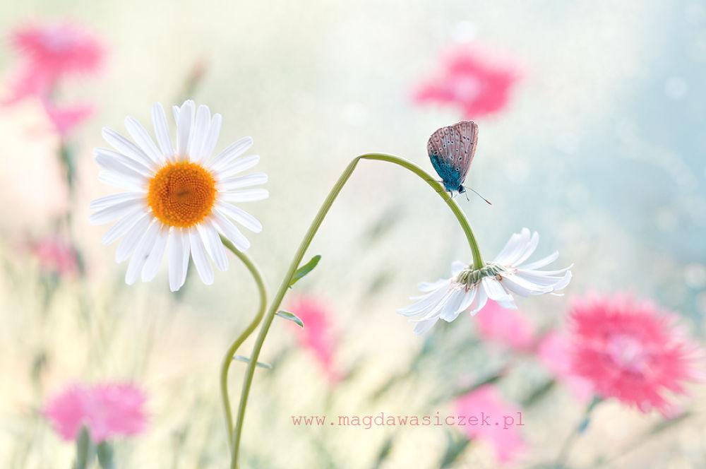 Photo in Nature #ypa2013 #macro #bokeh #light #nature #butterfly #ikar #white #pink #blue #fresh #wasiczek