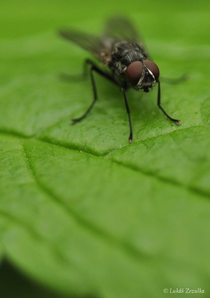 Photo in Macro #house-fly #macro #flower #detail #nature #czech #republic #fly #insect