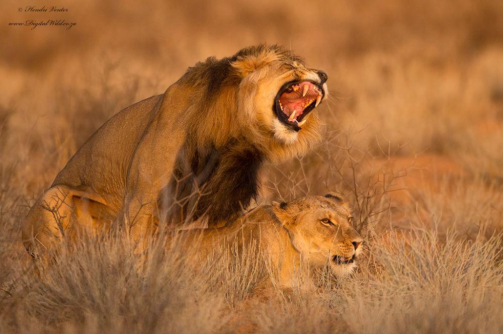 Photo in Animal #ypa2013 #mating lions #golden light #kgalagadi #african wildlife #hendri venter #www.digitalwild.co.za #wildlife pgotohraphy