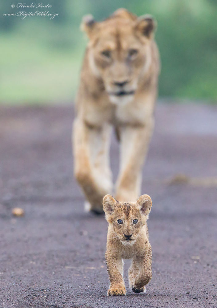 Photo in Animal #ypa2013 #lion #cub #cute #african wildlife #hendri venter #digitalwild.co.za #kruger national park #wildlife photography