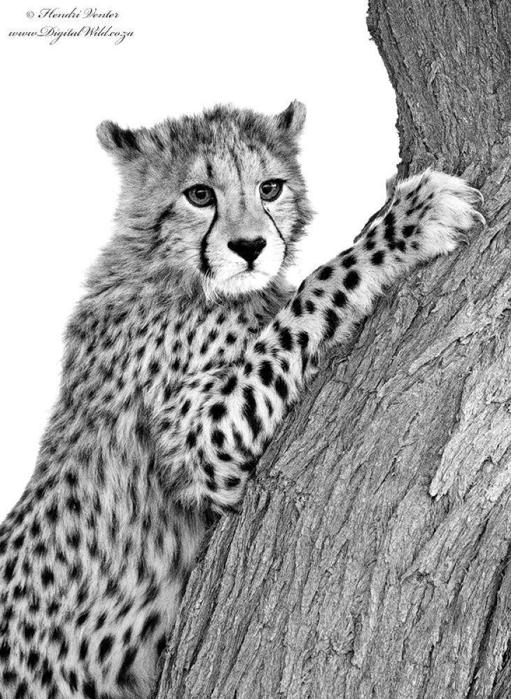 Photo in Animal #ypa2013 #cheetah #cub #african wildlife #hendri venter #www.digitalwild.co.za #kgalagadi #wildlife photography