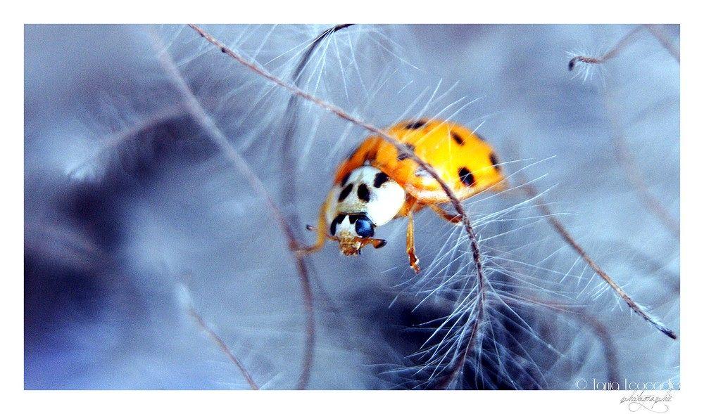 Photo in Macro #ladybird #coccinelle #joaninha #macro #azul #sony #cool #curls #nature #natureza #insecte #inseto #animal #blue #sweet