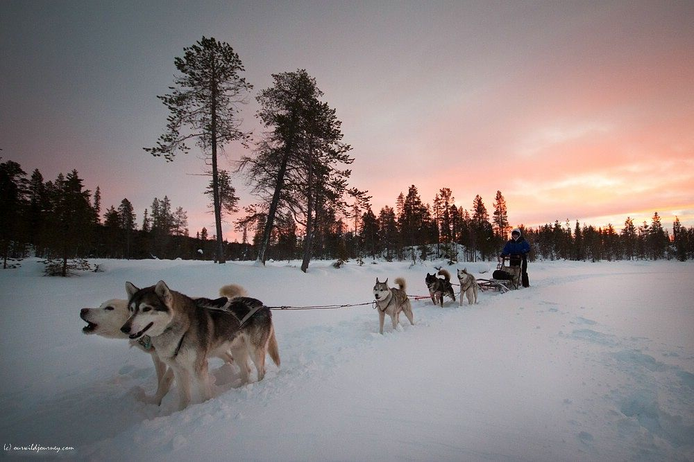 Photo in Animal #husky #dog #sledge #winter #snow