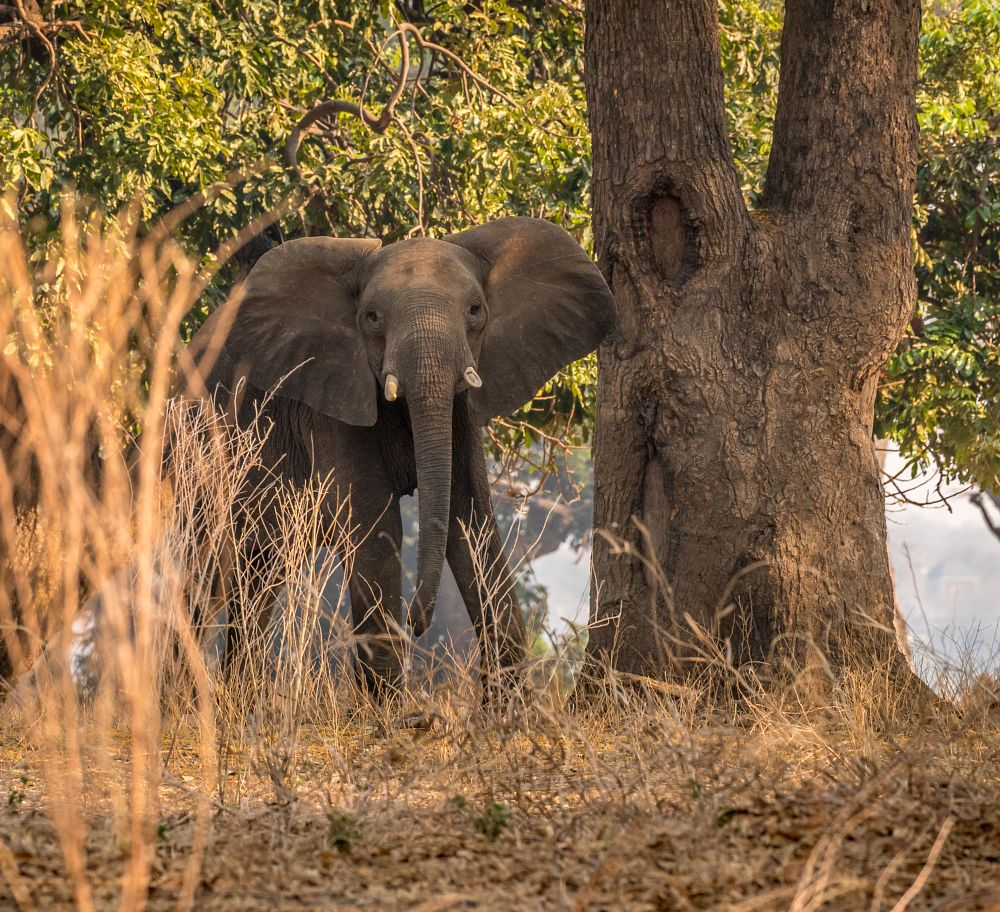 Photo in Animal #zimbabwe #mana pools national park #safari #wildlife #nature #animals #mammal #elephant
