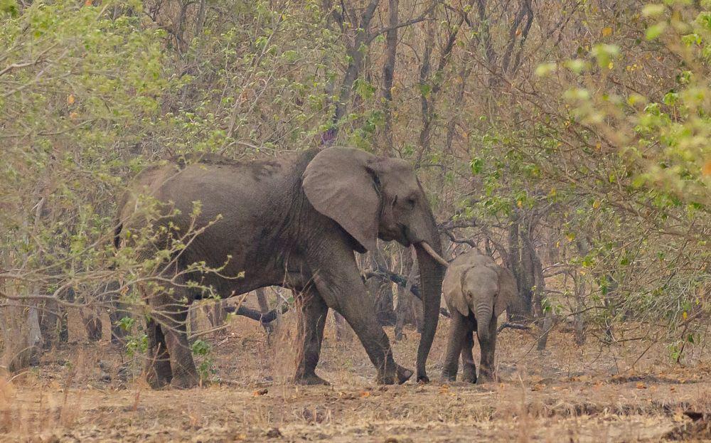 Photo in Animal #zimbabwe #mana pools national park #safari #wildlife #nature #mammal #elephant big five #elephant