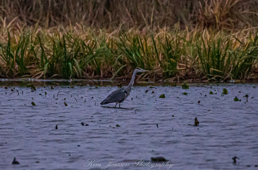 Photo in Animal #zoom fotoresor #örebro #grey heron