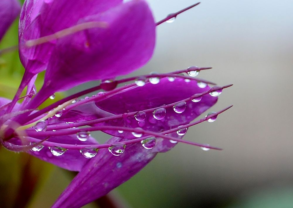 Photo in Nature #nature #drop #rain #flower #ура2013