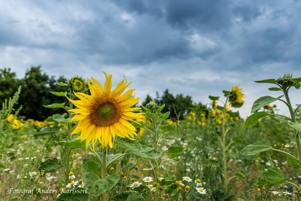 Photo in Landscape #sunflower #landscape #feald #field