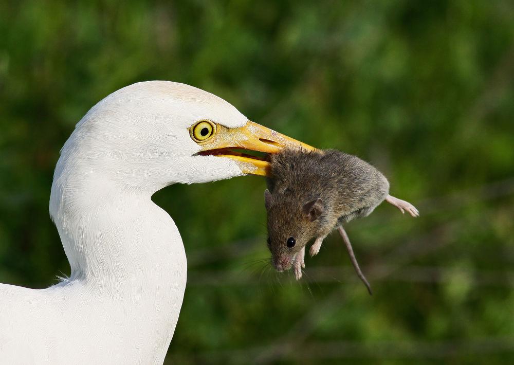 Photo in Random #bird #nature #wildlife #אנפית בקר    cattle egret #ypa2013