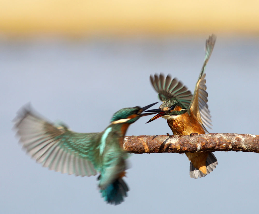 Photo in Random #kingfisher #nature #bird #wildlife #ypa2013