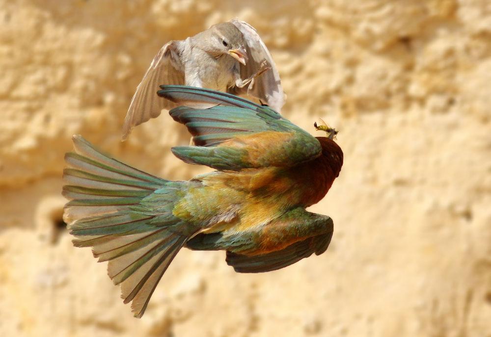 Photo in Animal #bee eater #bird #nature #fight #wildlife