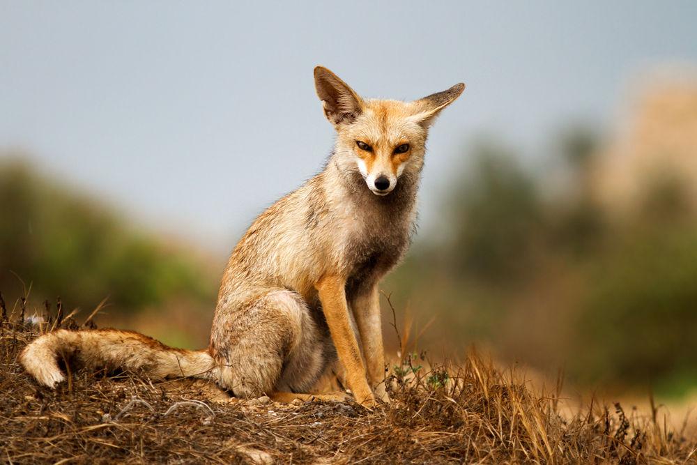 Photo in Animal #fox #nature #wildlife #ypa2013