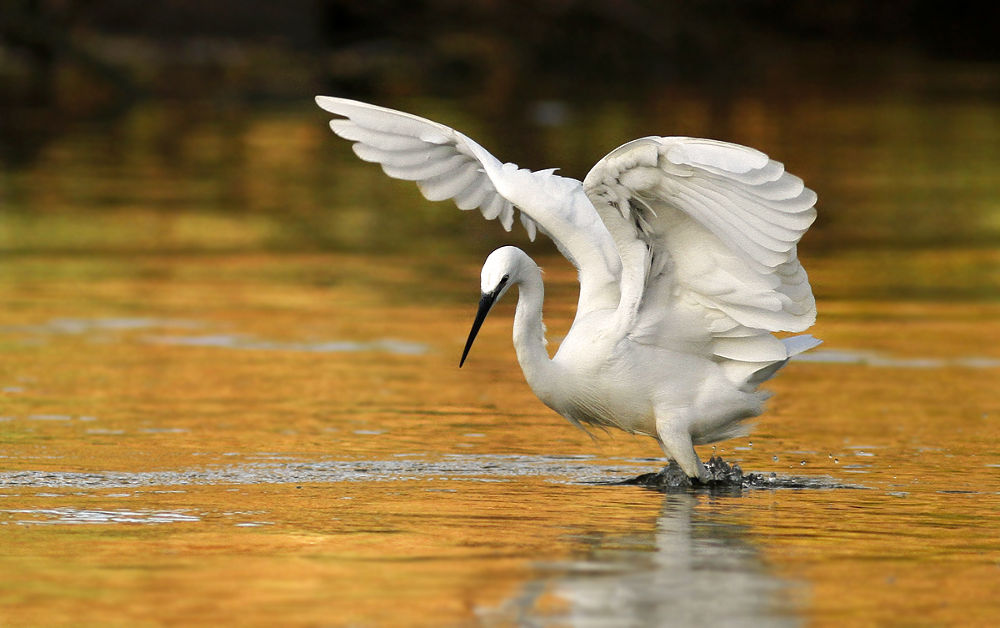 Photo in Animal #little egret #nature #bird #wildlife