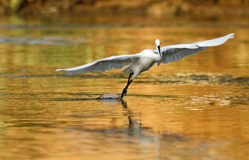 Photo in Animal #bird #little egret #nature #wildlife #ypa2013