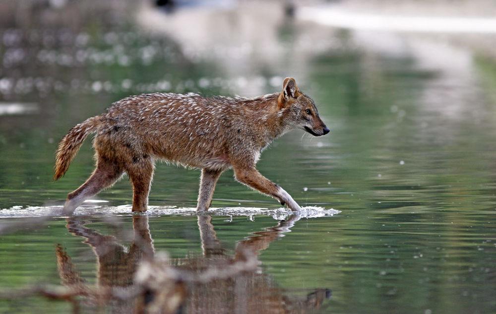 Photo in Random #golden jackal #nature #wildlife #ypa2013