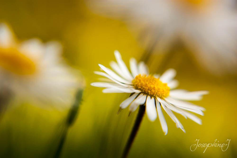 Photo in Nature #flower #daisy #macro #nature #summer