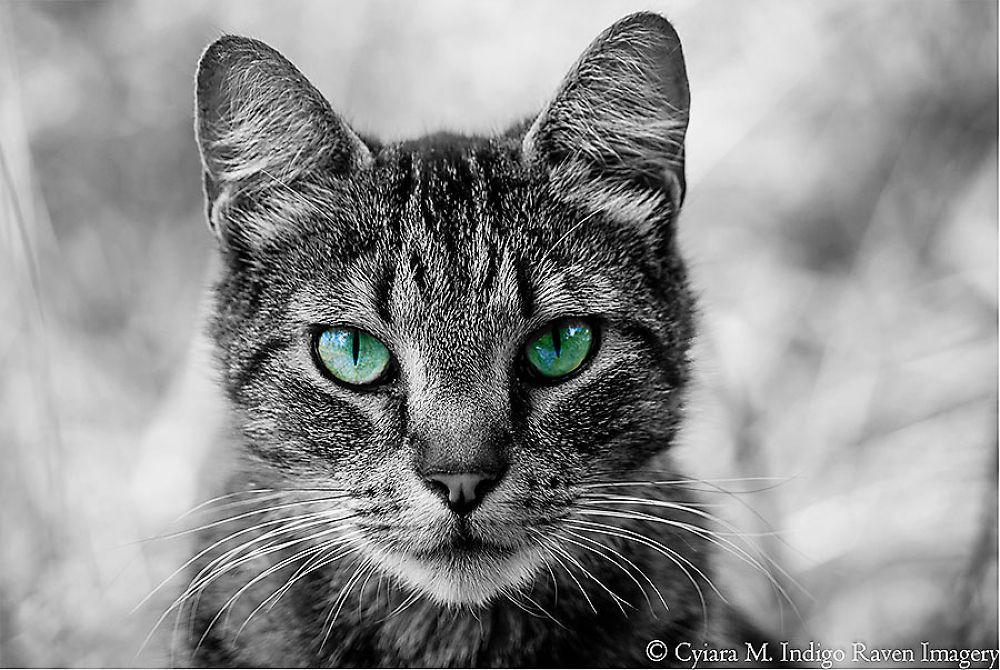 Photo in Animal #ypa2013 #cats #b&w #eyes #animals