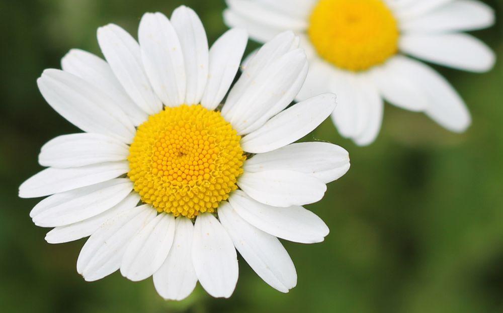 Photo in Macro #daisy #macro #flowers