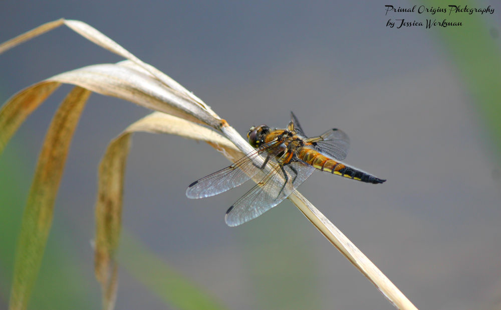 Photo in Animal #dragonfly #water #insect #fly #areial #hunter #predator #flight #bug #wetland #marsh #canal #stream #reed #nature #wildlife #wild #animal #animals #outdoors #outside