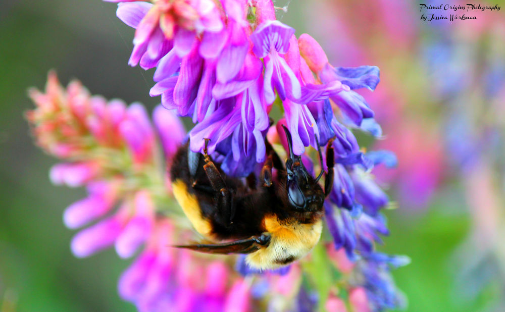 Photo in Animal #bumblebee #bug #insect #flight #wings #marsh #flower #purple #bee #nectar #pollinate #pollen #nature #wildlife #wild #animal #animals #outside #outdoors