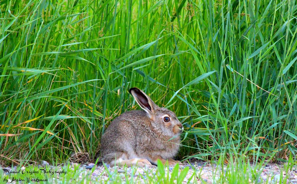 Photo in Random #jackrabbit #baby #young #rabbit #prairie #bunny #burrow #burrower #subterranean #dig #prey #wildlife #animal #animals #wild #nature #outside #outdoors