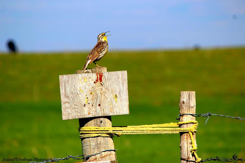 Photo in Random #meadowlark #songbird #bird #sing #chirp #tweet #fencepost #fence #prairies #yellow #wildlife #animal #animals #nature #outside #outdoors #wild