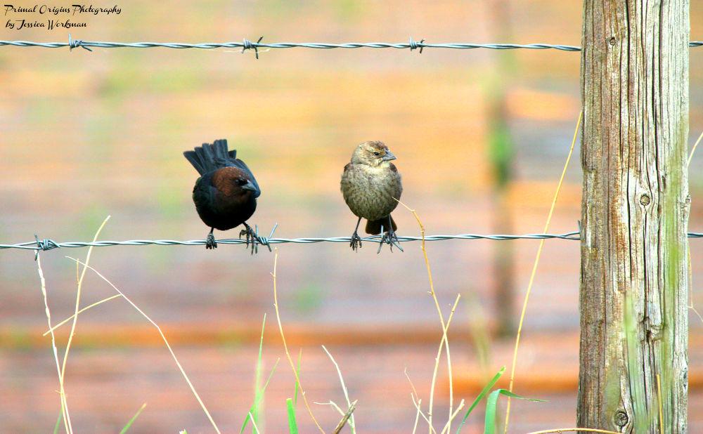 Photo in Animal #bird #cowbird #molothrus #fenceline #barbed wire #fence #mate #animal #wildlife #nature #outdoors #outside #alberta #birds