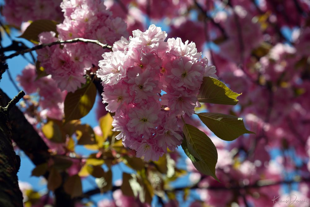 Photo in Nature #street photography #publicity #travel #urban #sun #tree #flower #blossom #colour #plant #sky #nikon #journalism #klaus.deischl #random #nature