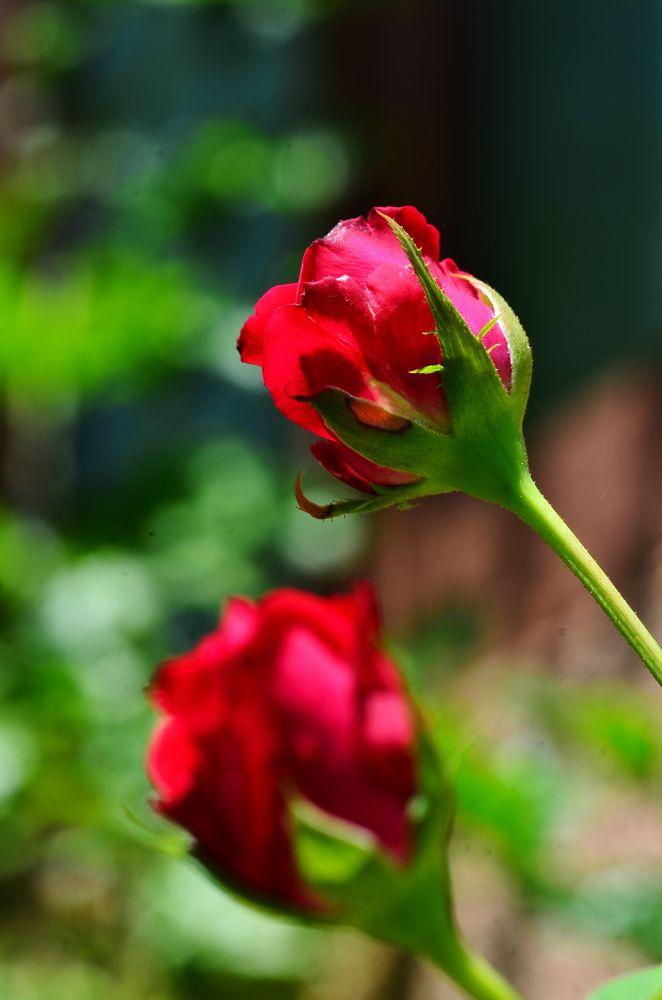 Photo in Nature #roses #macro