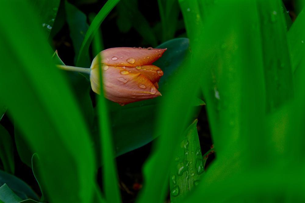 Photo in Macro #tulip flower grass petal