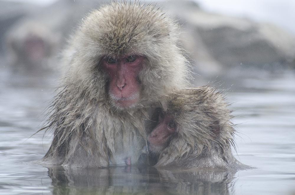 Photo in Animal #hot #spring #nagano #japan #snow #monkey