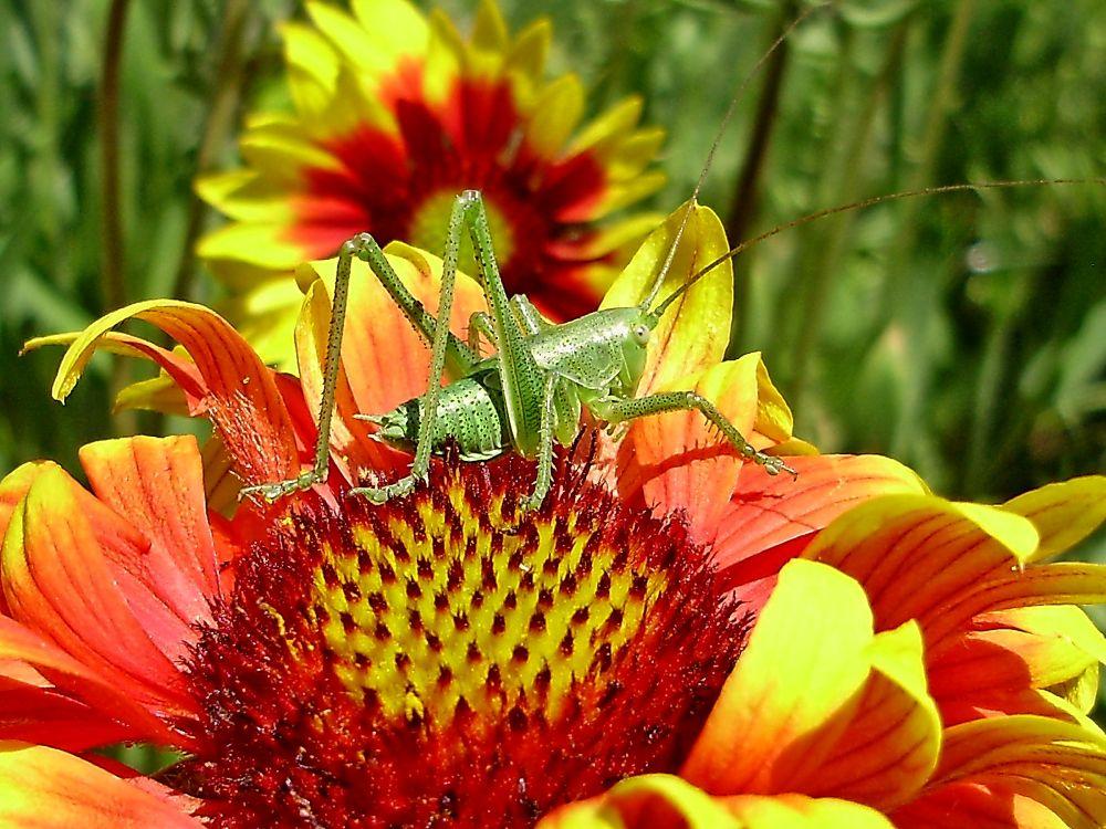 Photo in Macro #summer #grasshopper #macro #flower