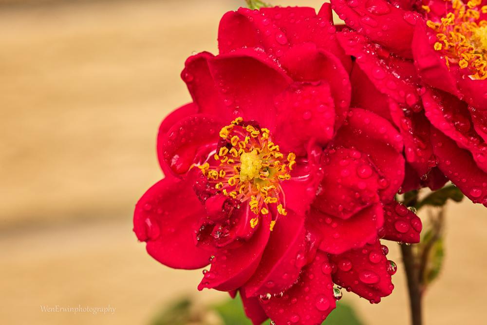 Photo in Macro #macro #flower #petals #blossoms #roses